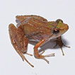 A new species of puddle frog from an ...
