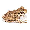 A new species of terrestrial frog Pristimantis ...