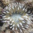 Sea anemones (Cnidaria, Actiniaria) of ...