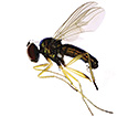 Three new species of Rhaphium from China, ...