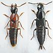 Rove beetles of the genus Quedius (Coleoptera, ...