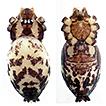 On the genus Flexicrurum Tong & Li, ...