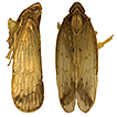 Two new species of the genus Tsauria ...