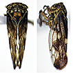 Review of the leafhopper subgenus Pediopsoides ...