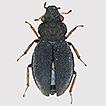 A new species of the genus Ochthebius ...