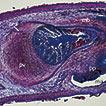 Description of a new species of Paraplehnia ...