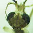 A new species of Tipulodina (Diptera, ...