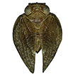 Three new species of the planthopper ...