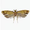 Two new species of the genus Meleonoma ...