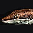 A new species of the genus Takydromus ...