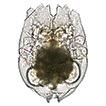 Brachionus paranguensis sp. nov. (Rotifera, ...