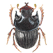 Description of Onthophagus humboldti ...