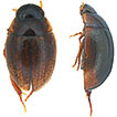 A new species of Laccobius Erichson, ...