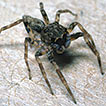 A new lapsiine jumping spider from North ...