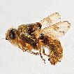 Taxonomic review of Gasterophilus (Oestridae, ...