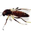 A new species of Nilobezzia Kieffer (Diptera, ...