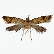 Three new species of Meleonoma Meyrick ...