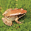A new species of the Music frog Nidirana ...