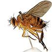 The world woodlouse flies (Diptera, Rhinophoridae)