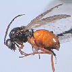 A new Diplolepis Geoffroy (Hymenoptera, ...