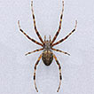 On Araniella and Neoscona (Araneae, Araneidae) ...