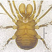 A taxonomic study on Epedanidae from ...