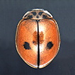 Oenopia shirkuhensis sp. nov. (Coleoptera, ...