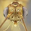 Maritime trap-jaw ants (Hymenoptera, ...