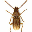 New cavernicolous ground beetles from ...