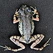 A new species of Leptobrachella (Anura, ...