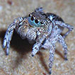 Sitticine jumping spiders: phylogeny, ...