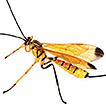 Five new species of Dolichomitus Smith ...