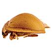 Three new species of the genus Chilocorellus ...