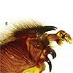 A new species of Sarcophaga (Pandelleisca) ...