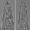 Distribution of trichodorid species in ...