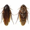 Two new species of Episymploce Bey-Bienko, ...
