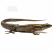 Systematics of Pholidobolus lizards (Squamata, ...