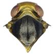 Two new species of the genus Betacixius ...