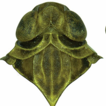 Two new species of the genus Indolipa ...