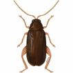 Blakealtica, a new genus of flea beetles ...
