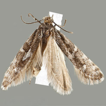 Eidophasia assmanni sp. nov., the first ...