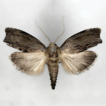 A new species of Galleria Fabricius (Lepidoptera, ...