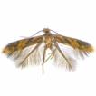 Exotic-looking Neotropical Tischeriidae ...