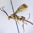 Orientocardiochiles, a new genus of Cardiochilinae ...