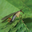 Two new species of Cerapanorpa (Mecoptera, ...