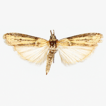 A new species of Pima Hulst, 1888 from ...