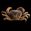 Two new species of freshwater crabs of ...