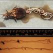 First record of a mermithid worm (Nematoda, ...