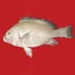 Plectorhinchus makranensis (Teleostei, ...