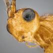 New species of the genera Bracon Fabricius ...